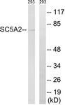 C18831-1 - SGLT2 / SLC5A2