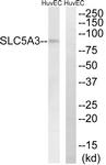 C18843-1 - SLC5A3