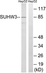 C18987-1 - SUHW3 / ZNF280C