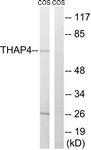 C19099-1 - THAP4
