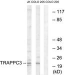 C19146-1 - TRAPPC3