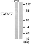 C19176-1 - TCF4