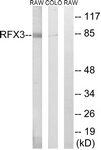 C19207-1 - RFX3