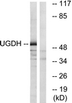 C19458-1 - UGDH