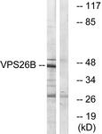 C19486-1 - VPS26B