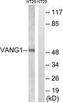 C19490-1 - Vang-like protein 1 (VANGL1)