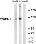 C19553-1 - WDHD1