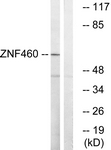 C19600-1 - ZNF272