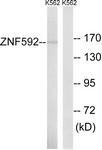 C19603-1 - ZNF592