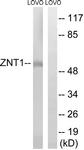 C19617-1 - Zinc transporter 1 / SLC30A1