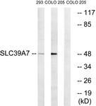 C19625-1 - SLC39A7