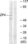 C19638-1 - ZP4 / ZPB