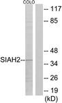 C19672-1 - SIAH2