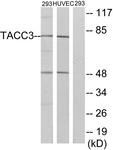 C19673-1 - TACC3 / ERIC1