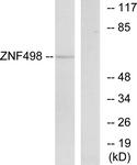 C19675-1 - ZNF498