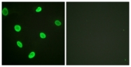D0004-1 - Histone H2B