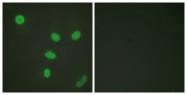 D0010-1 - Histone H3.1