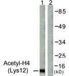 D0013-1 - Histone H4