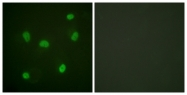 D0023-1 - Histone H2B