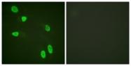 D0032-1 - Histone H4