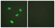 D0033-1 - Histone H4