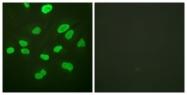 D0034-1 - Histone H4