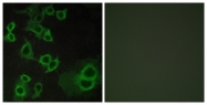 G021-1 - Adenosine receptor A3