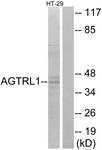 G031-1 - Apelin Receptor