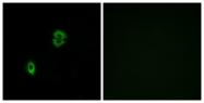 G053-1 - CD197 / CCR7