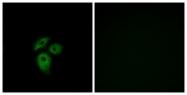 G081-1 - CD234 / DARC