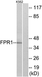 G102-1 - fMLP receptor