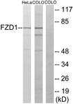 G105-1 - FZD1 / Frizzled-1