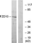 G106-1 - CD350 / FZD10 / Frizzled-10
