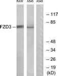 G108-1 - FZD3 / Frizzled-3