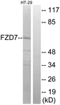 G112-1 - FZD7 /  Frizzled-7