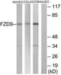 G114-1 - CD349 / FZD9 / Frizzled-9