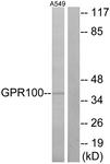G117-1 - Relaxin-3 receptor 2 / RXFP4