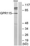 G123-1 - GPR115 / PGR18