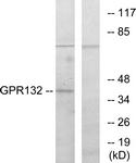 G130-1 - GPR132 / G2A