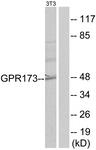 G144-1 - GPR173 / SREB3