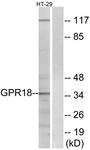 G147-1 - GPR18 / NAGly receptor
