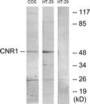 G226-1 - Cannabinoid receptor 1