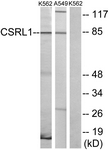 G229-1 - Vomeronasal type-2 receptor-like (VN2R1P)