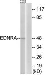 G241-1 - Endothelin A receptor