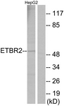 G247-1 - GPR37L1 / ETBRLP2
