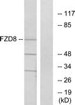G261-1 - FZD8 / Frizzled-8