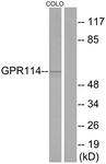 G284-1 - GPR114