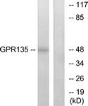 G293-1 - GPR135