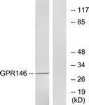 G299-1 - GPR146