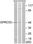 G319-1 - GPRC5C / RAIG3